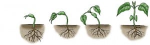 header plant lifecycle 300x91 How A Seed Grows