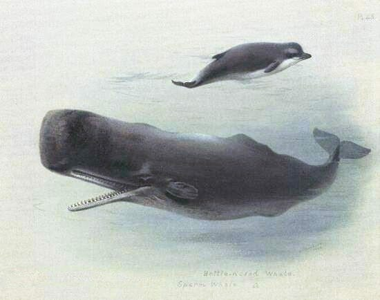 sperm whale and bottlenose whale