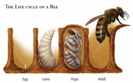 Life Cycle of the Honey Bee – Story Sequence Cards