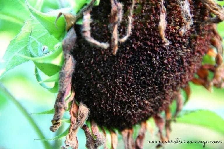 dead_sunflower
