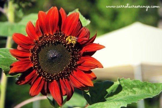 red_sunflower_2