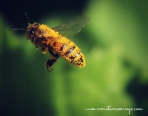 honey_bee_close_up