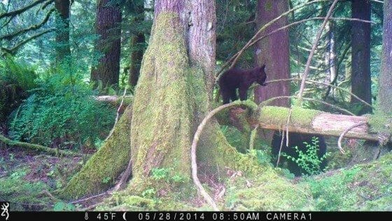 This picture of a cub and her mama is from our trail camera.