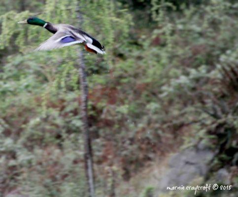 Mallard Flying 2