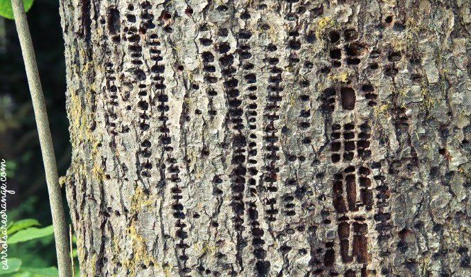 Woodpecker Markings
