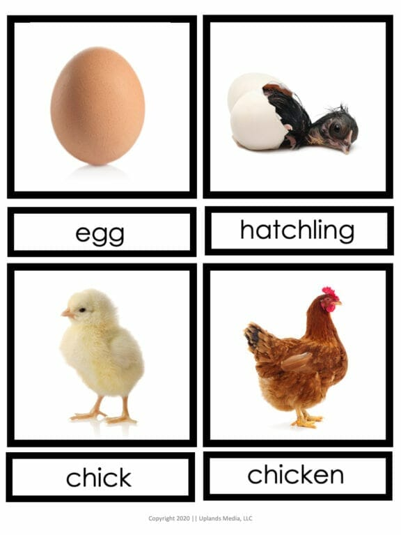 Life Cycle of a Chicken 3 Part Cards